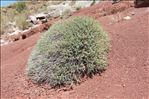 Photo 6/10 Euphorbia spinosa L.