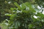 Photo 1/5 Ficus carica L.