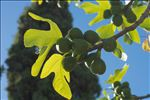 Photo 3/5 Ficus carica L.