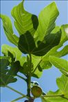 Photo 5/5 Ficus carica L.