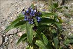 Gentiana cruciata L.