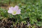 Geranium cinereum Cav.