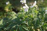 Geranium pratense L.