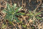 Geranium tuberosum L.