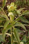 Helleborus viridis L.