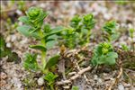 Photo 12/12 Honckenya peploides (L.) Ehrh.