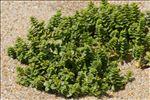 Photo 4/12 Honckenya peploides (L.) Ehrh.