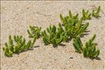 Photo 3/12 Honckenya peploides (L.) Ehrh.