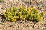 Photo 2/12 Honckenya peploides (L.) Ehrh.