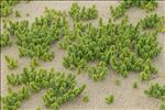 Photo 1/12 Honckenya peploides (L.) Ehrh.