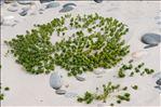 Photo 10/12 Honckenya peploides (L.) Ehrh.