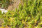 Photo 9/12 Honckenya peploides (L.) Ehrh.