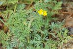 Hypecoum procumbens L.