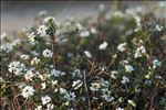 Photo 2/2 Iberis sempervirens L.
