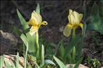 Photo 1/10 Iris lutescens Lam. subsp. lutescens