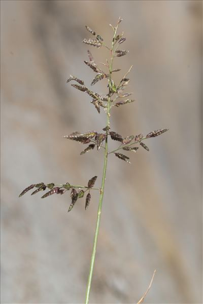Eragrostis minor Host