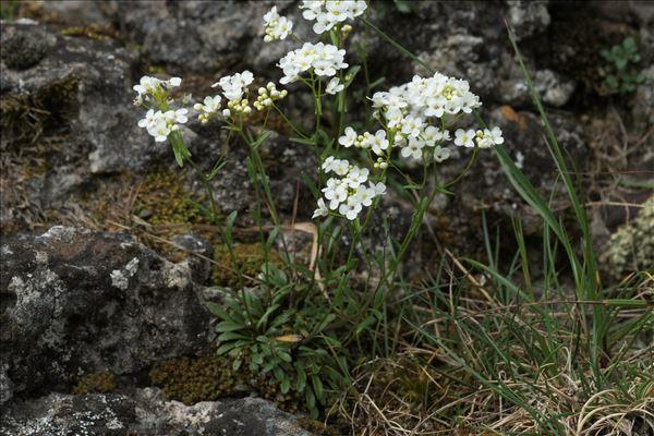 Kernera saxatilis (L.) Sweet