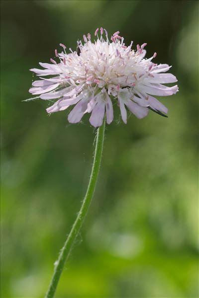 Knautia integrifolia (L.) Bertol.