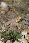 Limonium auriculiursifolium (Pourr.) Druce