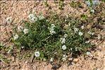 Photo 8/9 Lobularia maritima (L.) Desv.