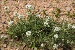 Photo 7/9 Lobularia maritima (L.) Desv.