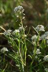 Lobularia maritima (L.) Desv. subsp. maritima