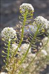 Photo 3/9 Lobularia maritima (L.) Desv.