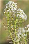 Lobularia maritima (L.) Desv.