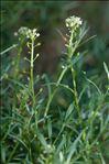 Photo 5/9 Lobularia maritima (L.) Desv.