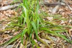 Luzula sylvatica subsp. sieberi (Tausch) K.Richt.