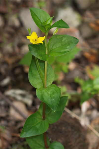 Lysimachia nemorum L.