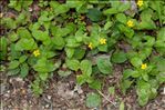 Photo 3/3 Lysimachia nemorum L.