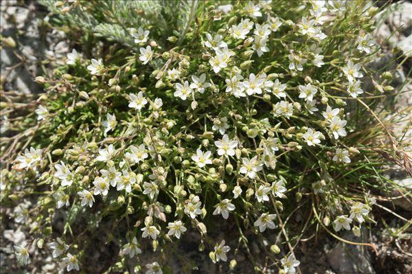 Minuartia verna (L.) Hiern subsp. verna