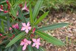 Photo 2/4 Nerium oleander L.