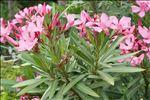 Photo 1/4 Nerium oleander L.