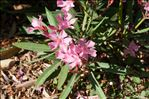 Photo 4/4 Nerium oleander L.
