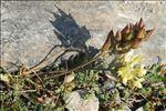 Oxytropis campestris (L.) DC.