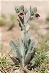 Pardoglossum cheirifolium (L.) Barbier & Mathez