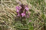 Pedicularis palustris L.