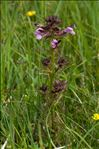 Photo 3/4 Pedicularis palustris L.
