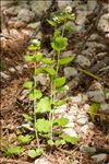 Alliaria petiolata (M.Bieb.) Cavara & Grande