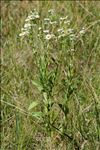 Erigeron annuus var. septentrionalis (Fernald & Wiegand) B.Bock