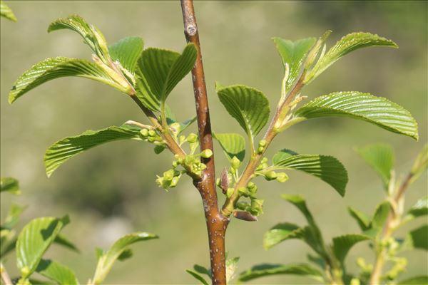 Rhamnus alpina L. subsp. alpina