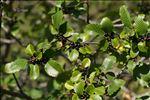 Rhamnus alpina L.
