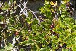 Rhamnus pumila Turra