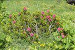 Photo 3/9 Rhododendron ferrugineum L.