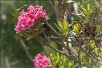 Photo 1/9 Rhododendron ferrugineum L.