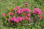 Photo 2/9 Rhododendron ferrugineum L.