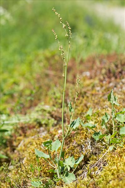 Rumex scutatus L.