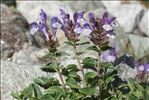 Scutellaria alpina L.